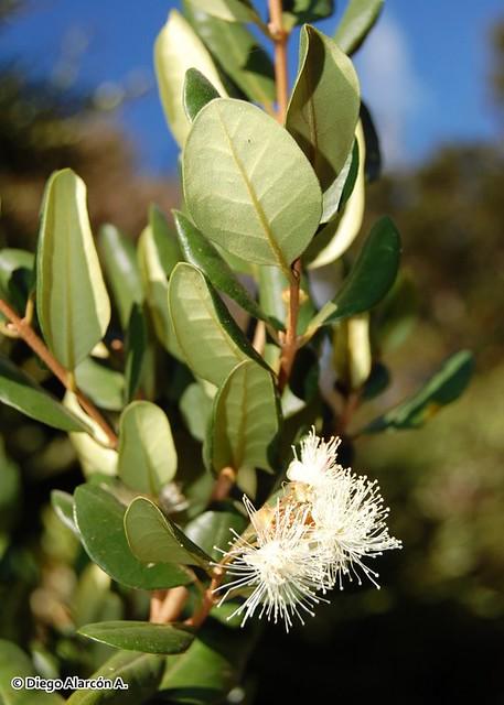 Ramita de Myrceugenia exsucca con follaje y flores
