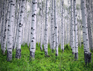 Gray Aspen Grove | by Chad Galloway Photo