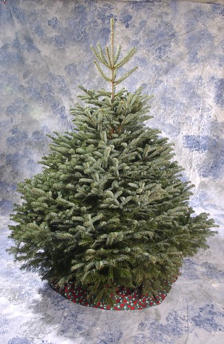 Turkish fir Christmas tree | by Oregon State University