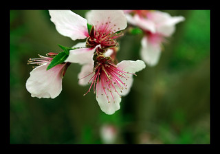 Plum Blossoms II | by The Aberrant Eye