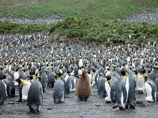 Large group of King Penguins | by Antarctica Bound