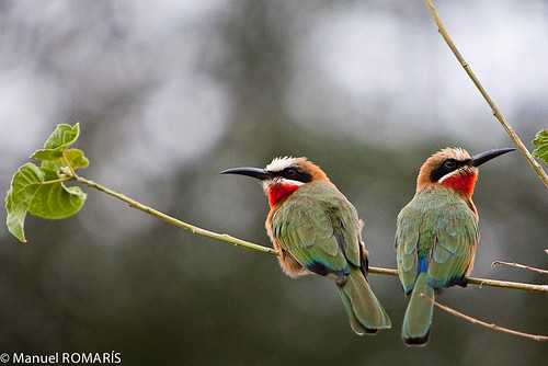 White-fronted bee-eater | by Manuel ROMARIS