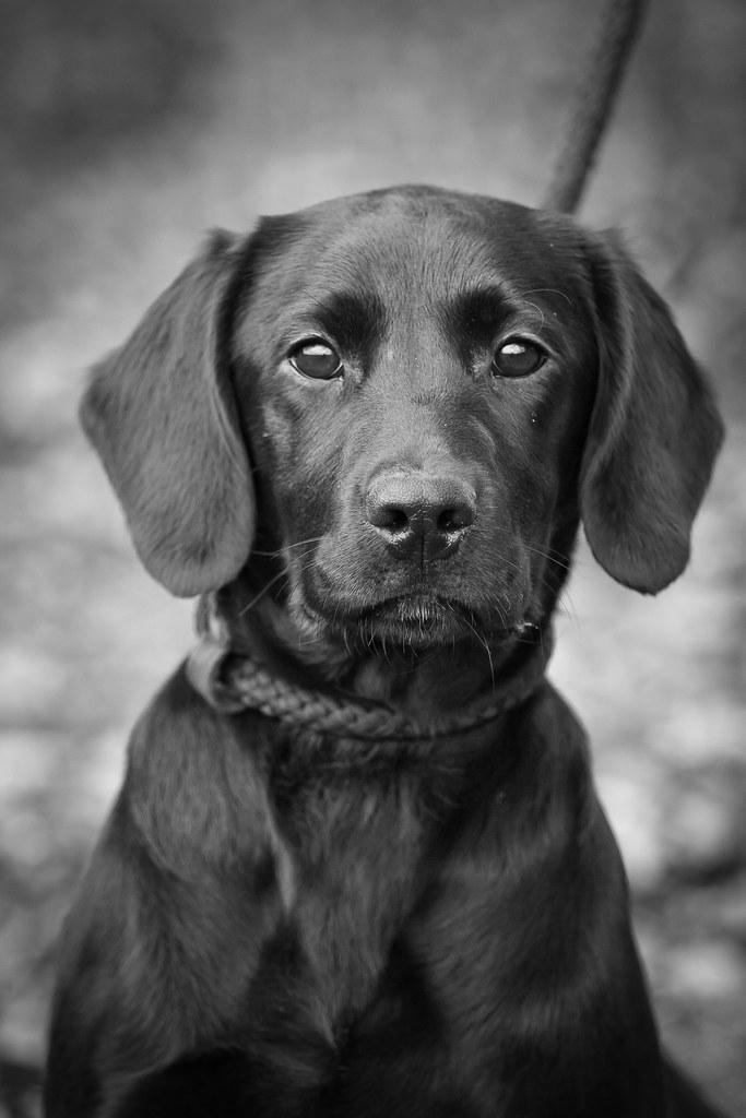 Black labrador gun dog portrait by andy biggar photography otter spotter