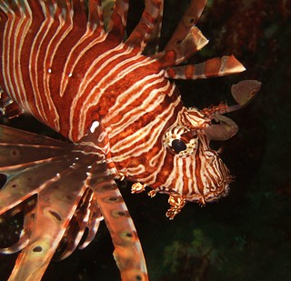 Lionfish | by Oisin Gormally Photography