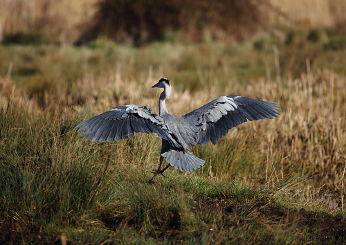 Heron Touchdown | by Yogibear44