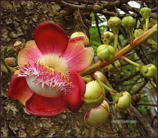 Nagalingam Flower/Couroupita guianensis/Ayahuma /Cannonball Tree. | by {deepapraveen very busy with work..back soon