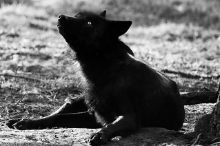Black Wolf | by Charles A. Thomas