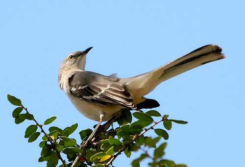 Mockingbird | by TexasEagle