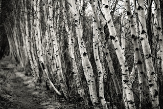 silvered birches | by Nate Parker Photography