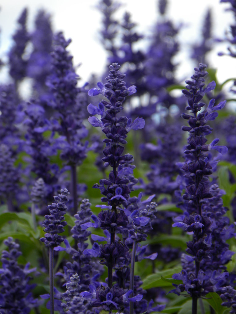 Tall purple flowers karen kirby flickr tall purple flowers by kkirby864 tall purple flowers by kkirby864 mightylinksfo