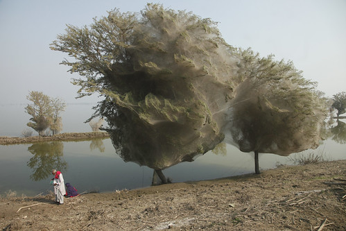 Trees cocooned in spider webs, an unexpected side effect of the flooding in Sindh, Pakistan | by DFID - UK Department for International Development