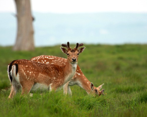 Fallow Deer | by Chris.T74
