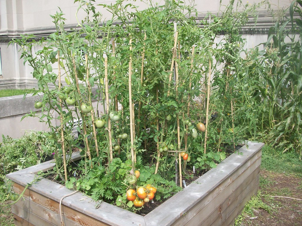 ... Tomatoes Growing In Square Foot Garden | By U Of IL Extension Smart  Home Garden