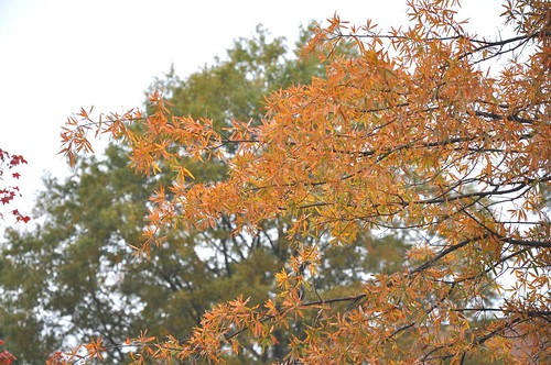 Willow oak fall foliage color this quercus