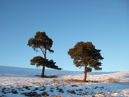 051210-two-pines | by treeblog