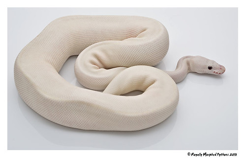 Blue Eyed Leucistic | by Royally Morphed Pythons