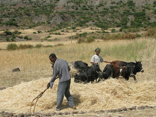 Harvest in Ethiopia | by IFPRI