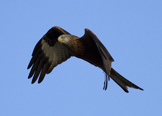 Red Kite | by susan yeomans