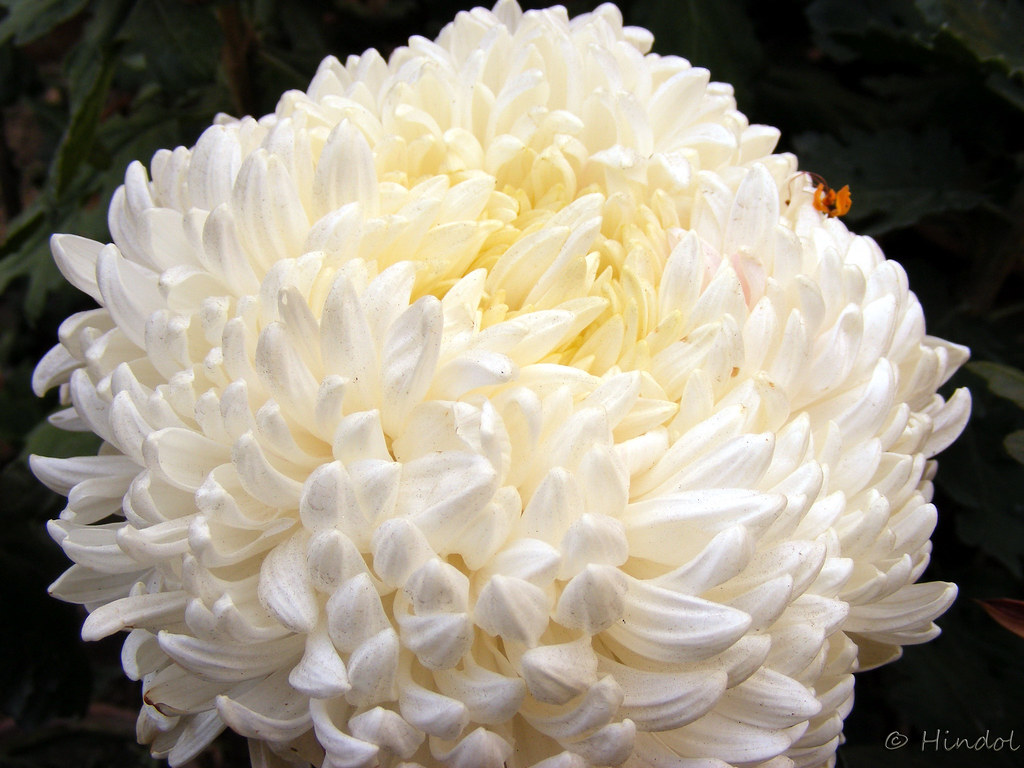 Snowball White Chrysanthemum From Winter Flower Show In Ag Flickr