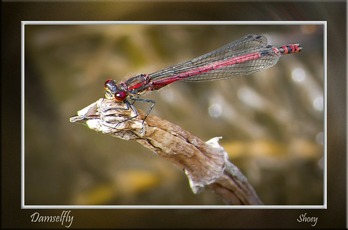 Red Damselfly | by MShoey1