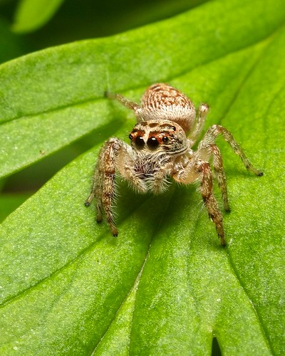 jumping spider | by www.stonemeadow.com.au