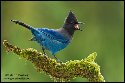 Steller's Jay - 26 | by Glenn Bartley - www.glennbartley.com