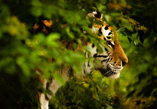 Creeping Tiger | by Loneimages