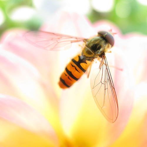 Hoverfly | by Con Ryan