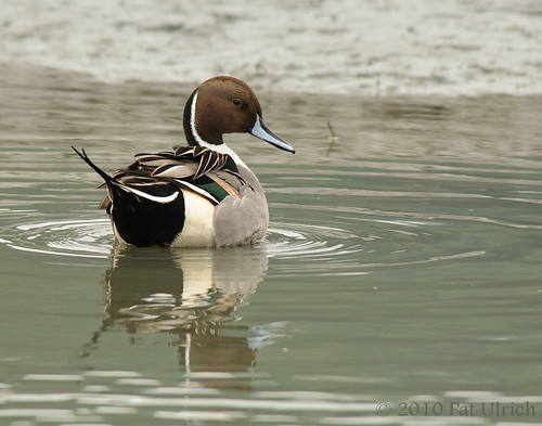 Preening pintail | by Pat Ulrich