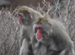 Pair of Snow Monkeys | by KoolPix