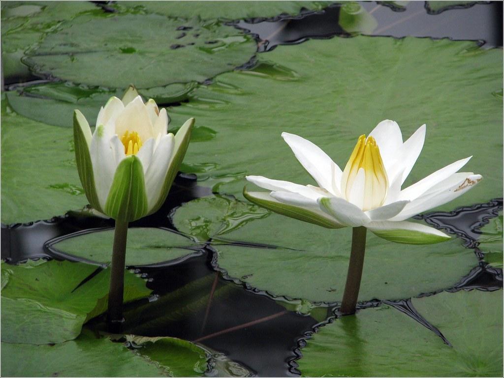Nymphaea Lotus Belgium Meise National Botanic Garden Ny Flickr