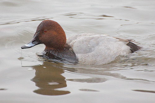 Pochard - Aythya ferina | by Gill Langridge
