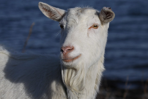 goat female | This is an old irish native type; goats were ...