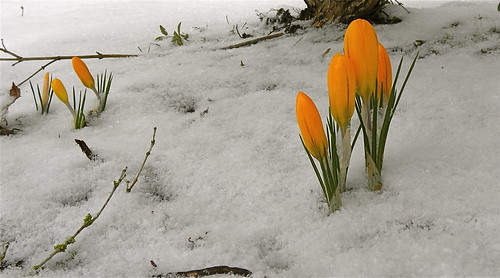 Orange crocus in snow | by nordique