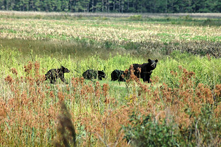 Black bear leading her cubs | by USFWS/Southeast