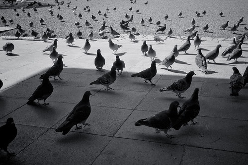 Pigeons | by 501622731plus1