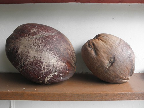 Comparing Coconuts - Malayan Tall & Malayan Red Dwarf | by thienzieyung