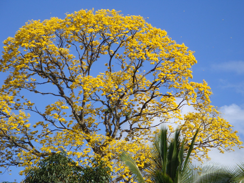 Yellow Flowered Tree Tabebuia Chrysantha Tabebuia Chrysa Flickr