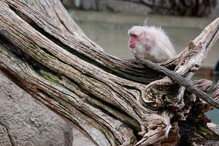 A Very Old Snow Monkey Enjoys a Snack | by Mark Dumont