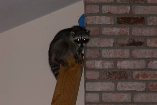 coon in house | by Contra Costa Times