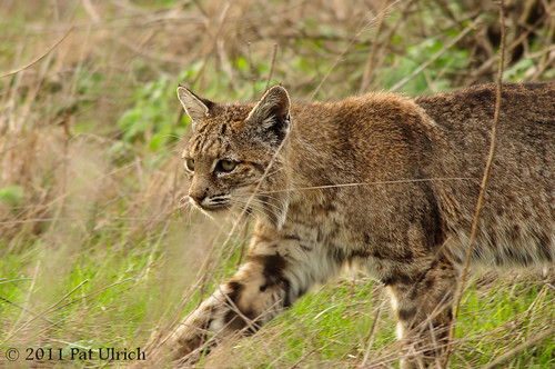Bobcat in stride | by Pat Ulrich