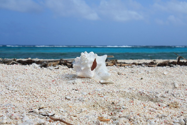 old conch shell