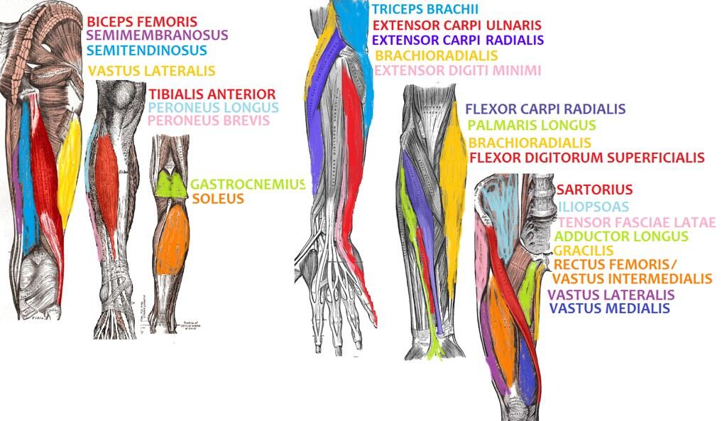 Science Olympiad Anatomy Cheat Sheet Aubrey048 Flickr