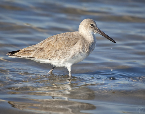 A Wading Willet | by goincarcrazy