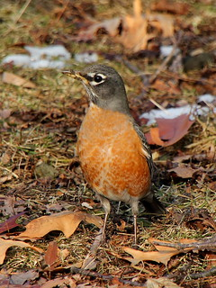 American Robin on Ground | by Mr.TinDC