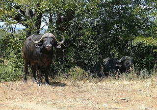 Cape Buffalo with nice horns | by Piet Grobler