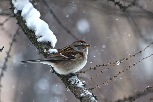 Snowy American Tree Sparrow | by Ariana Murphy