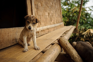 Lao Puppy | by goingslowly