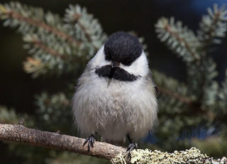 Black-capped Chickadee detail | by Laura Erickson