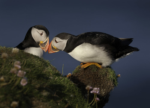 Bonding Puffins | by Mike Ashton